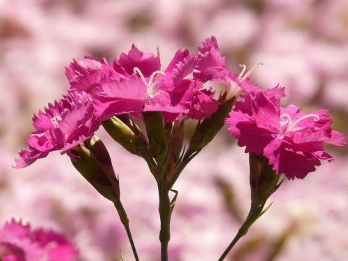 bush elke carnation flower