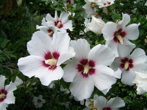 bush mallow white-flowered garden