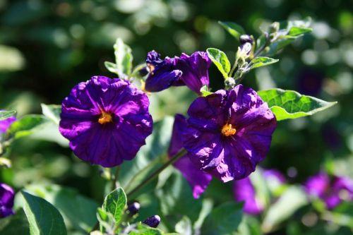 Bush Potato Flower