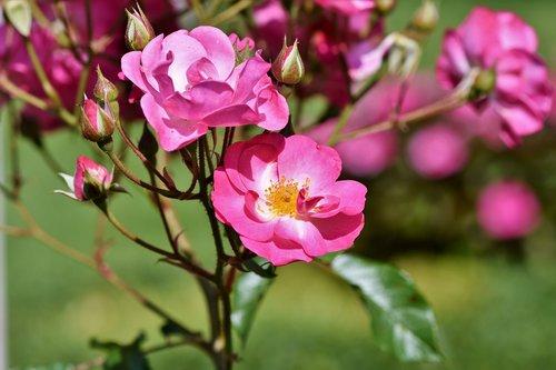 bush rose  rose  bush
