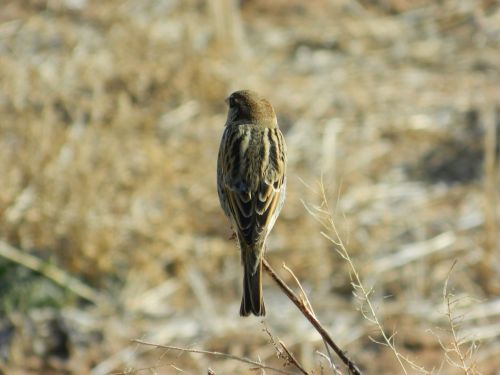 bush sparrow wild brave