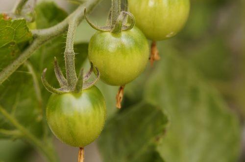 bush tomato tomato tomato plant