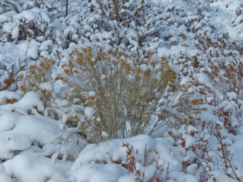 Bushes Covered In Snow