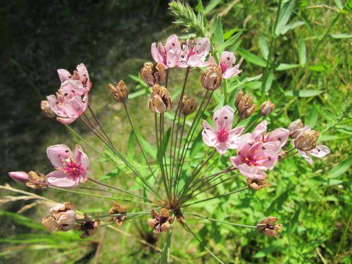 butomus umbellatus flowering rush grass rush