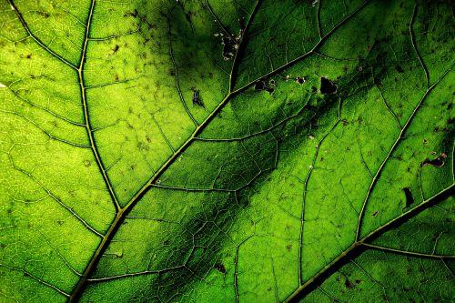 butterbur,petasitus hybridus,asteraceae,augalas,lapai,lapai,venų,modelis,struktūra