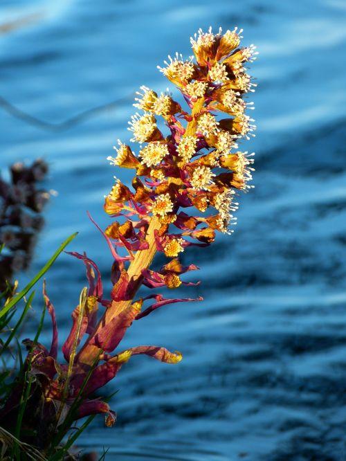butterbur,gamta,augalas,gėlės,paprastas butterbur,pavasaris,raudona butterbur