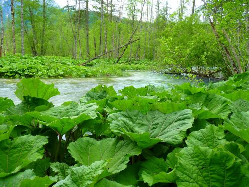 butterbur leaves large