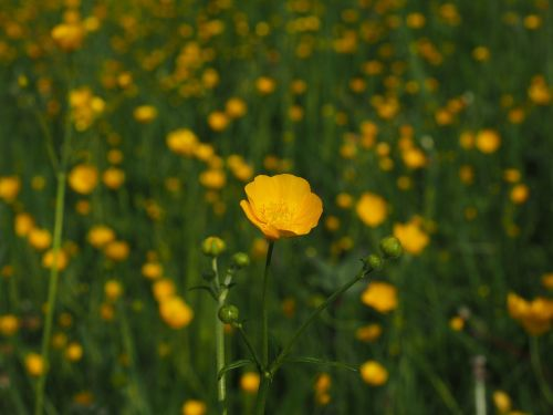 buttercup pointed flower flowers