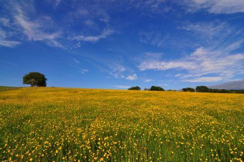 buttercup field springtime