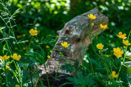 buttercup caltha palustris yellow