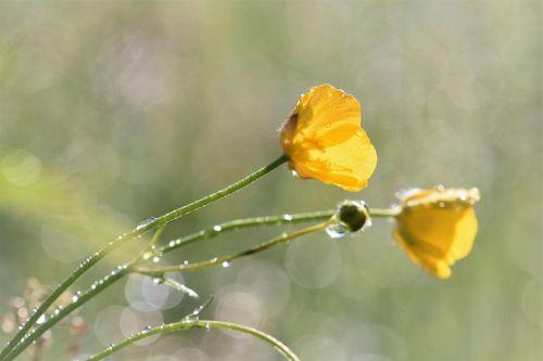 buttercup flower wild flower