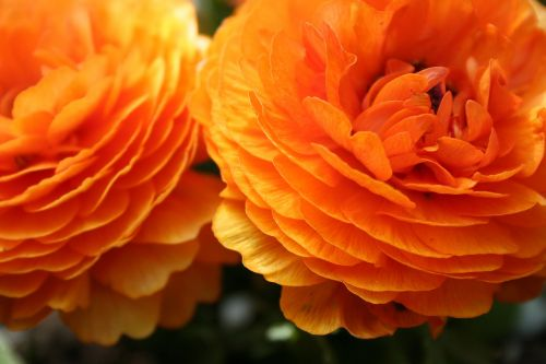 buttercup asiatic flower