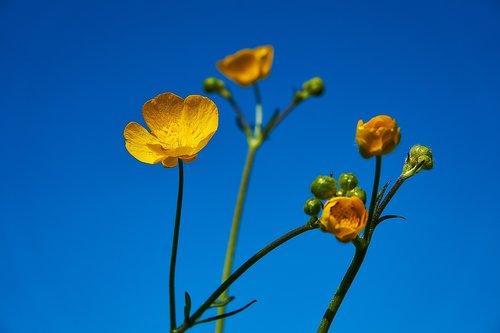 buttercup  flower  yellow
