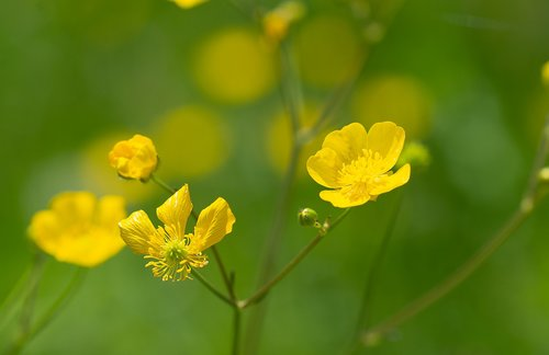 buttercup  yellow  toxic