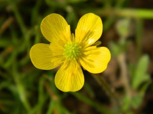 buttercup sharp buttercup yellow flower
