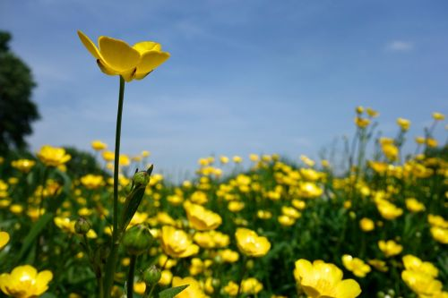 buttercup blossom bloom