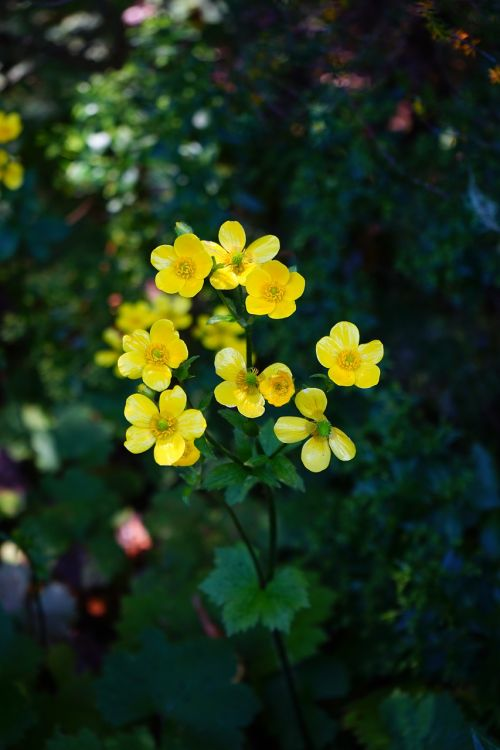 buttercup flower blossom