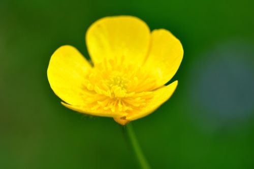 buttercup plant weed