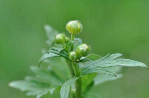 buttercup plant poisonous plant