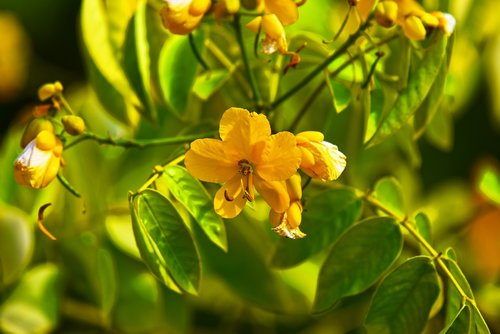 buttercup bush  glandular senna  flower