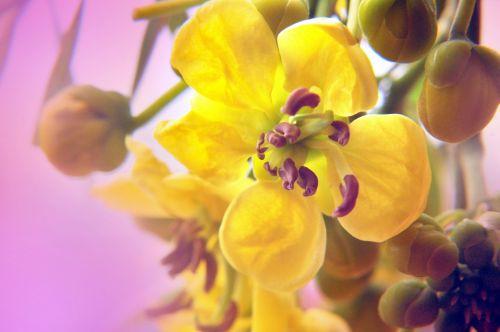 Buttercup Flowers 4