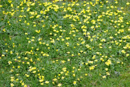 Buttercup Meadow Flowers