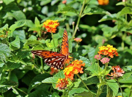 drugelis,Persijos įlankos krioklys,aistros drugelis,agraulis vanillae,drugelis,gamta,gražus,gėlė,vasara,makro