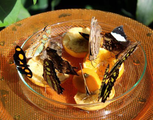 butterflies food fruit