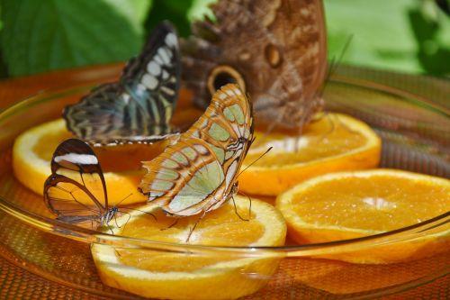butterflies feeding butterfly house
