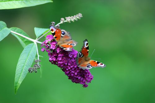 butterflies nature tagpfauenauge insect butterfly