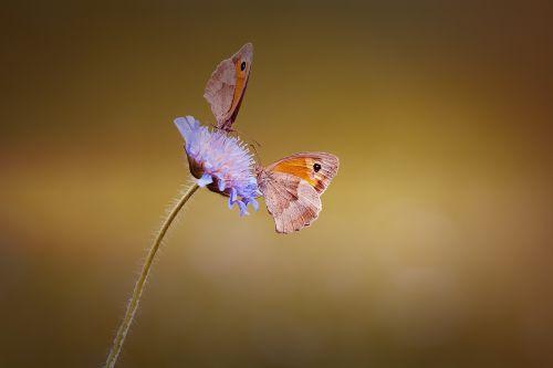 butterflies two two butterflies
