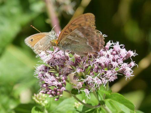 butterflies libar flower