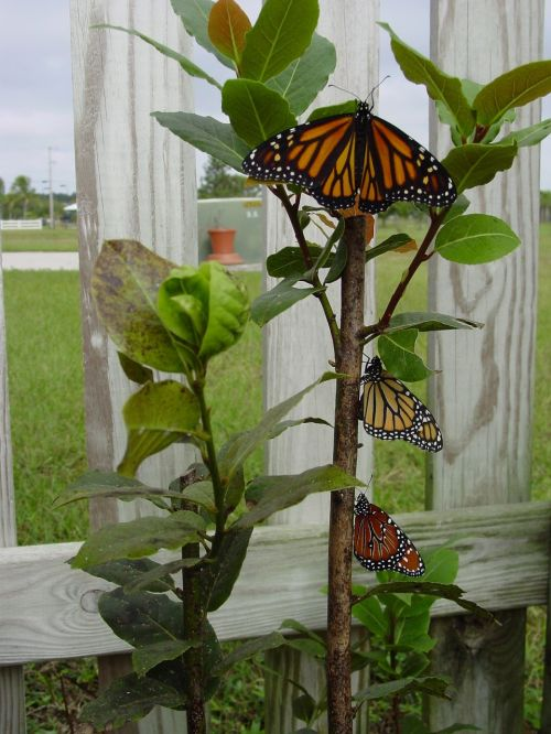 butterflies butterfly emerge