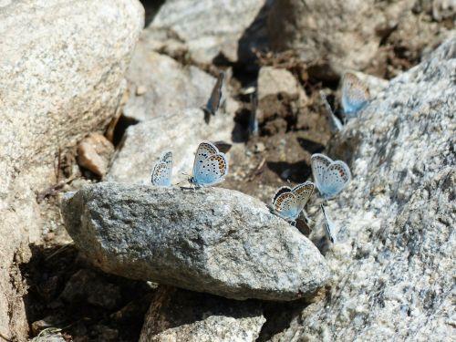 butterflies restharrow's blue polyommatus icarus
