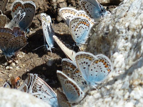 butterflies,restharrow's blue,polyommatus icarus,common blue,lycaenidae,common bläuling,blue,blue tint,wing