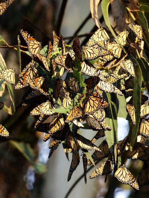 butterflies monarch santa cruz