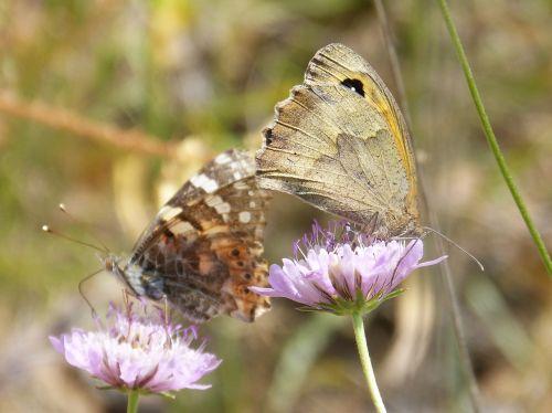 butterflies libar two butterflies