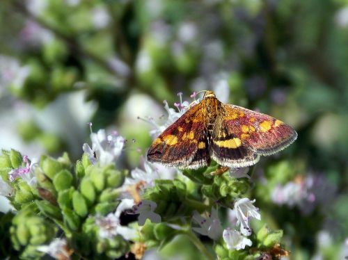 butterflies butterfly borer