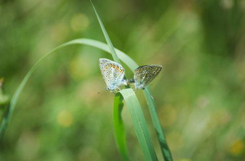 butterflies pairing argus-silver-studded blue