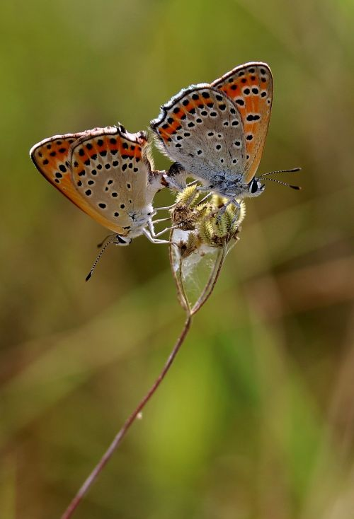 butterflies pair multiplication