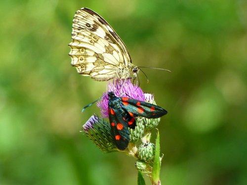 butterflies  drôme  grass