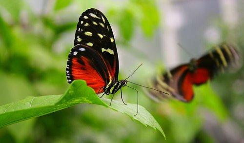 butterflies  wing  wing beat
