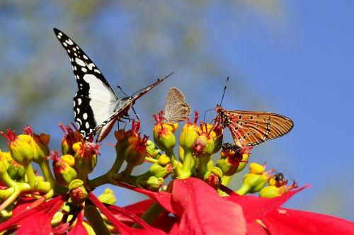 butterflies poinsettia animal world