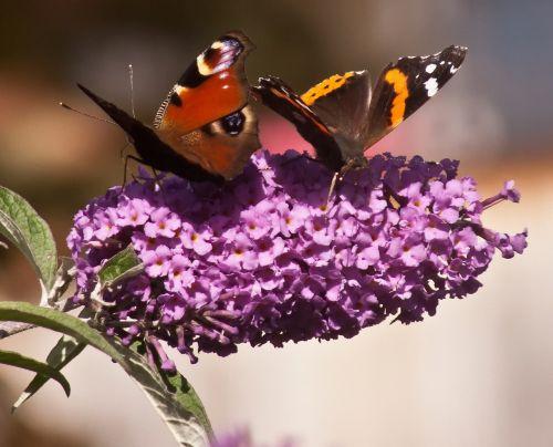 butterflies butterfly admiral