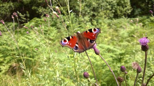 Povas drugeliai,drugelis,vasara,pieva,ruda,vabzdys,sparnas,gamta,spalvinga