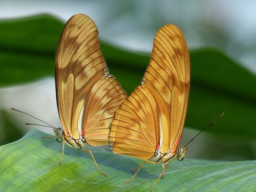 butterflies julia butterfly dryas iulia