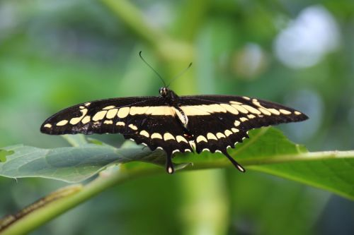 butterfly dovetail insect