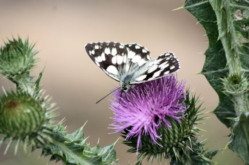 butterfly thistle pollinate