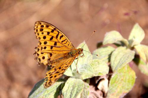 drugelis,atogrąžų,didžiausias drugelis,atogrąžų drugelis,aistros drugelis