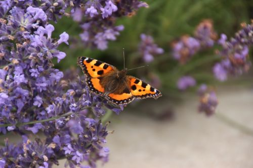 butterfly lavender flowers nature
